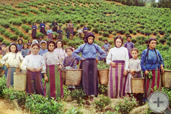 1915 | Группа рабочих на сборе чая в Грузии. Гречанки